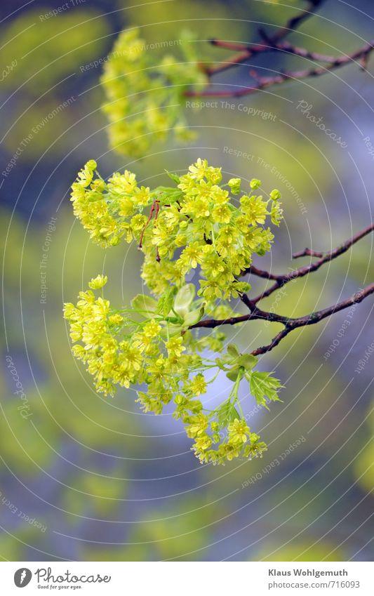 Frühlingserwachen Pflanze Himmel Baum Ahorn Ahornblüte Park Feld Wald Blühend blau braun gelb gold grün rot Farbfoto Außenaufnahme Detailaufnahme Makroaufnahme