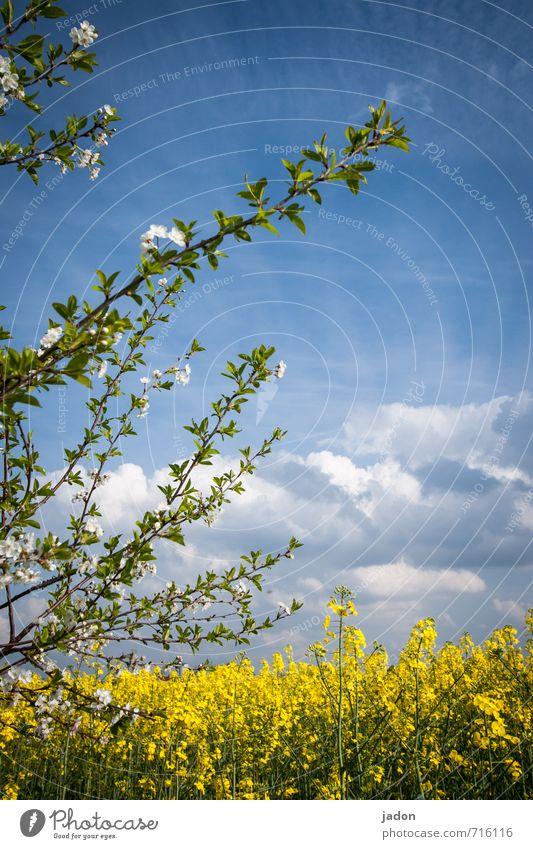frühlingsgrüsse. harmonisch Natur Landschaft Pflanze Himmel Wolken Frühling Blüte Nutzpflanze Feld blau mehrfarbig gelb weiß Umwelt Ferne Raps Rapsfeld