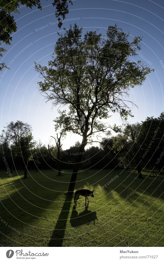 Schattenbaum Himmel Baum Sonne blau Wiese Gras Hund Rasen Deutscher Schäferhund