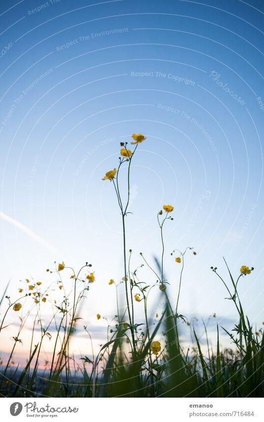 buttercup sunset Berge u. Gebirge wandern Natur Landschaft Pflanze Himmel Frühling Sommer Wetter Blume Gras Blüte Grünpflanze Wildpflanze Park Wiese Feld Hügel