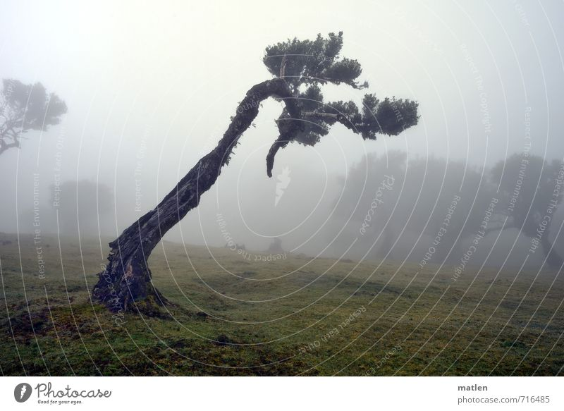 Rechtsabbieger Natur alt grün Pflanze Baum Landschaft Wald Wiese Gras grau braun Wetter Nebel schlechtes Wetter eigenwillig