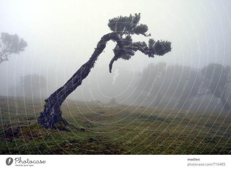 Rechtsabbieger Natur Landschaft Pflanze Wetter schlechtes Wetter Nebel Baum Gras Wiese Wald alt braun grau grün Kampf eigenwillig beugen Farbfoto