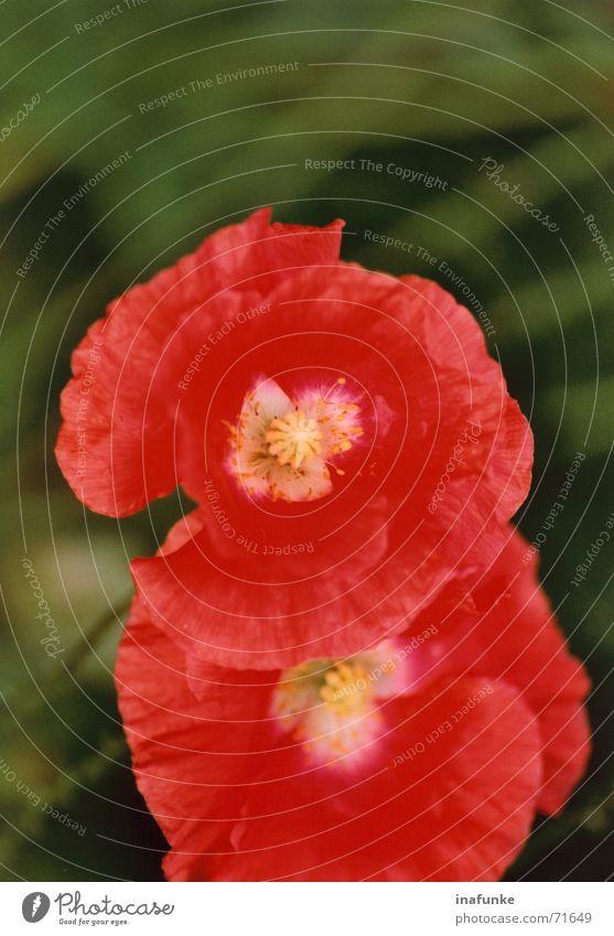 Mohn im Doppelpack Blume grün Pflanze rot Blüte Garten Wachstum Reifezeit