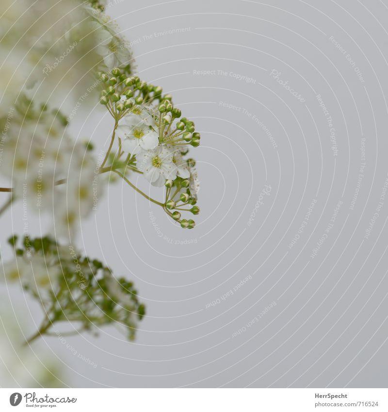 Blühstrauch II Pflanze Sträucher Blüte Grünpflanze frisch niedlich schön grün weiß Frühlingsgefühle Frühlingsblume Strauchrose Blühend Blütenknospen