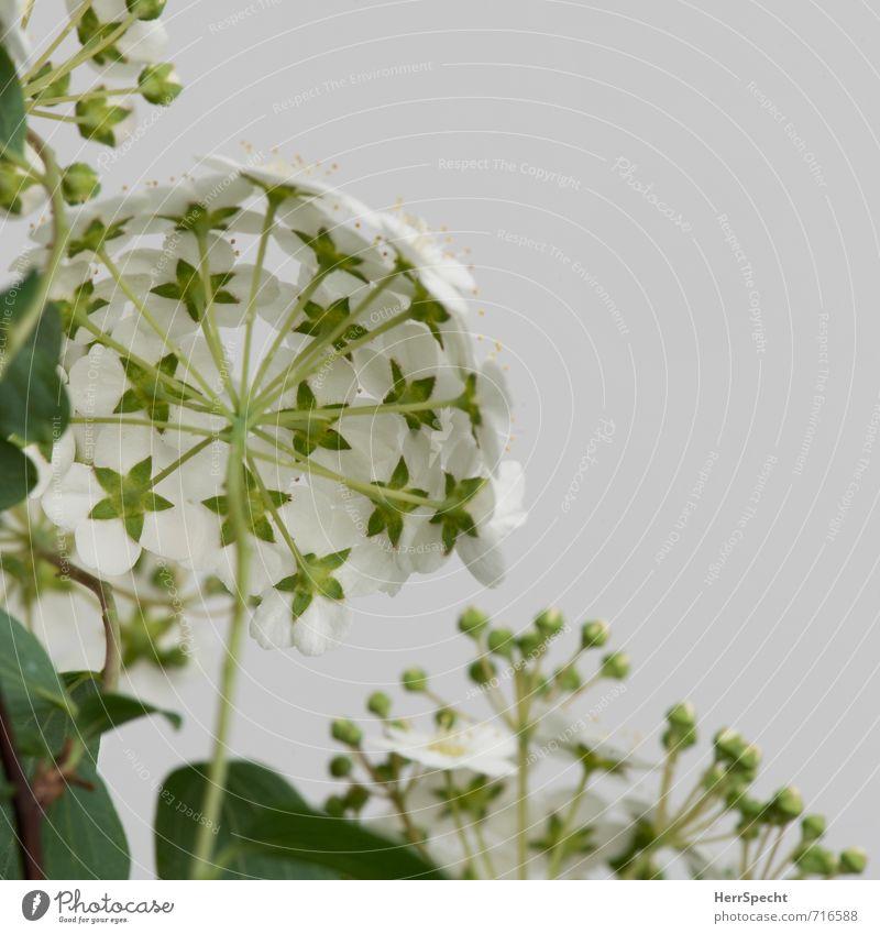 Blühstrauch IV Pflanze Sträucher Blatt Blüte Grünpflanze natürlich niedlich schön grün weiß Blühend Blütenstauden Blütenpflanze Blütenknospen Schirm rund