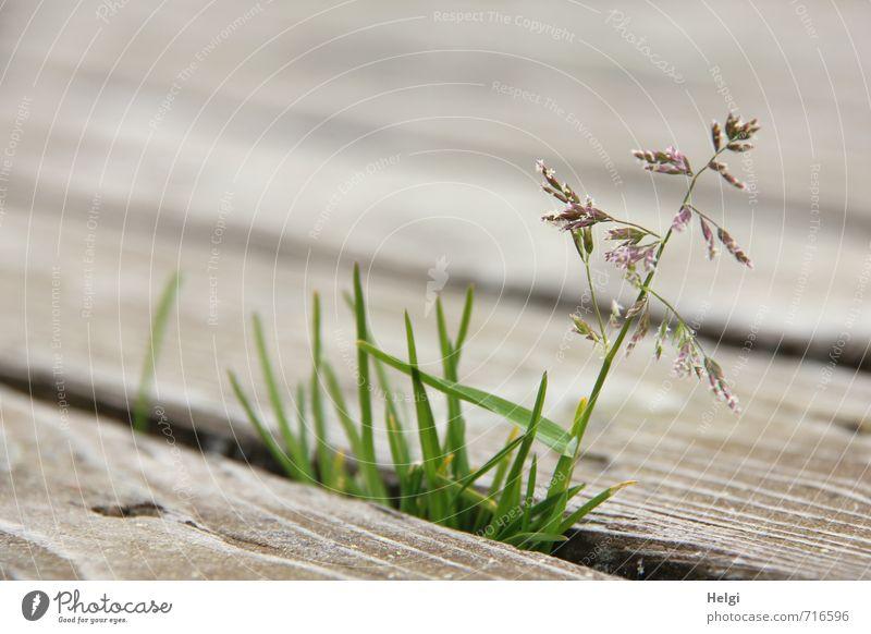 AST 7 | Lebenswille... Umwelt Natur Pflanze Frühling Gras Blüte Wildpflanze Holz Blühend stehen Wachstum außergewöhnlich einzigartig klein natürlich braun grün