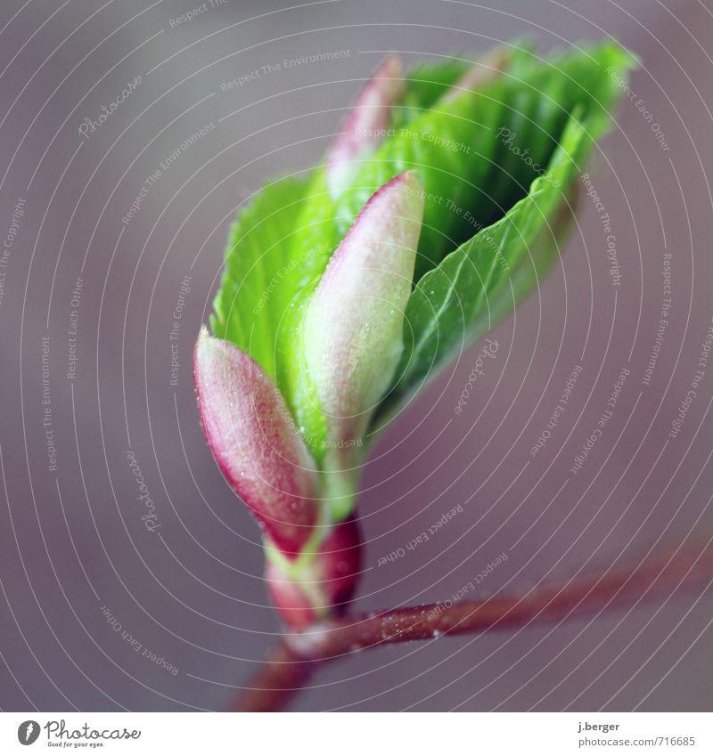 ausgeburt Natur Pflanze Frühling Sträucher Blatt Grünpflanze Wachstum braun grün violett rot Farbfoto Gedeckte Farben Außenaufnahme Nahaufnahme Detailaufnahme