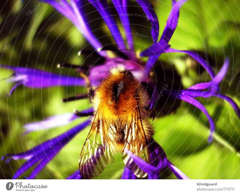 Bombus @ centaurea triumfettii schön Pflanze Sommer gelb Blüte Beine ästhetisch violett Flügel Insekt Flockenblume Sammlung Samen 6 Pollen Hummel