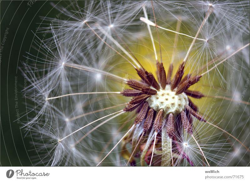 puste Löwenzahn blasen Pflanze Blume Sporen Wiese Sommer Blühend Samen Stempel Wind Nahaufnahme Makroaufnahme