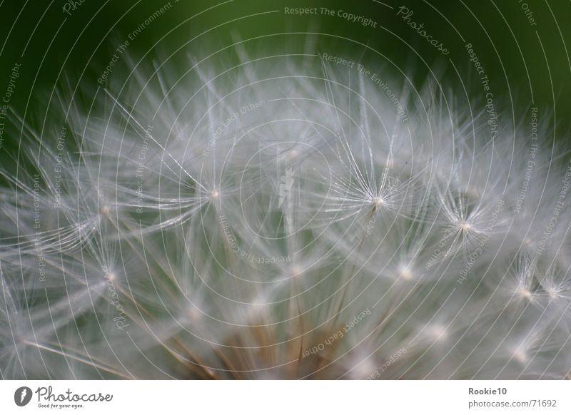 Do not touch me Blume Löwenzahn faszinierend nah zart einzigartig träumen Reaktionen u. Effekte grün himmlisch Natur Nahaufnahme Makroaufnahme sanft schön