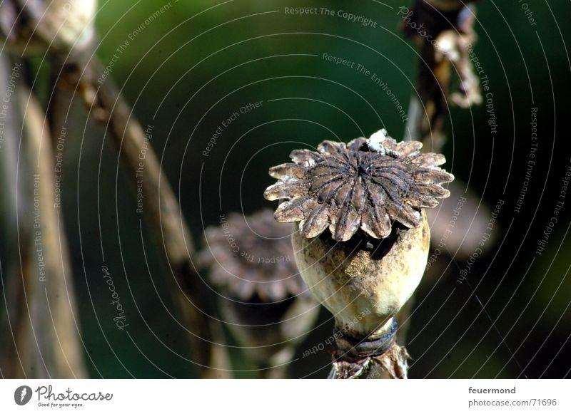 Mohn(i) alt Sonne grün Pflanze dunkel Herbst Tod Garten braun trocken Samen Blütenknospen Stempel herbstlich