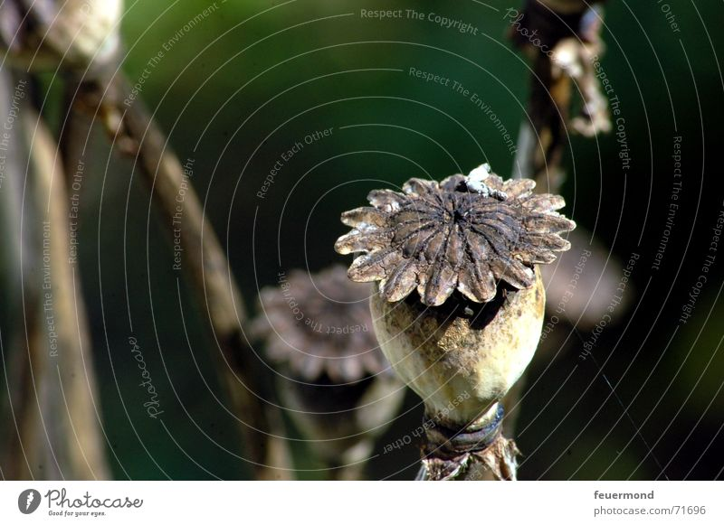 Mohn(i) alt Sonne grün Pflanze dunkel Herbst Tod Garten braun Mohn trocken Samen Blütenknospen Stempel herbstlich