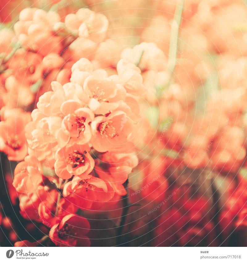 La dame rosé Pflanze schön Blume rot Wärme Blüte Liebe Frühling Garten Stimmung rosa Freizeit & Hobby Wachstum Sträucher ästhetisch fantastisch