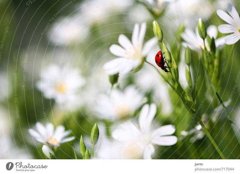 farbklecks Natur Pflanze Sommer Blume ruhig Tier Wiese Frühling natürlich Wildtier Schönes Wetter Gelassenheit Käfer krabbeln Marienkäfer