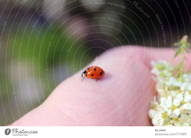 Kleines Glück Zufriedenheit Ausflug Sommer wandern Garten Muttertag Haut Hand Umwelt Natur Pflanze Tier Frühling Klima Blume Blüte Käfer Marienkäfer