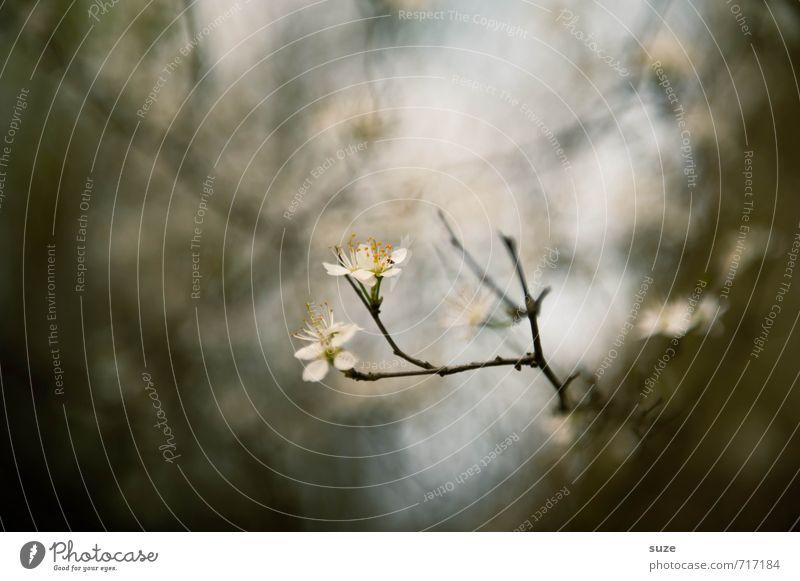 Milder Schein Natur schön weiß Pflanze ruhig dunkel Umwelt Gefühle Frühling Blüte grau klein natürlich Stimmung Lifestyle Wachstum