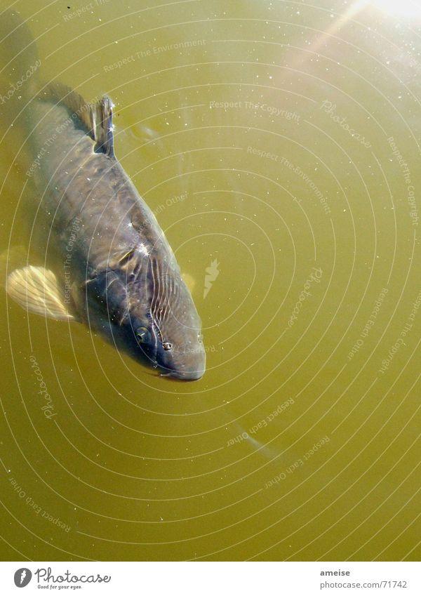 der kleine Karpfen Wasser Sonne Freiheit Fisch Teich Wasseroberfläche Tier