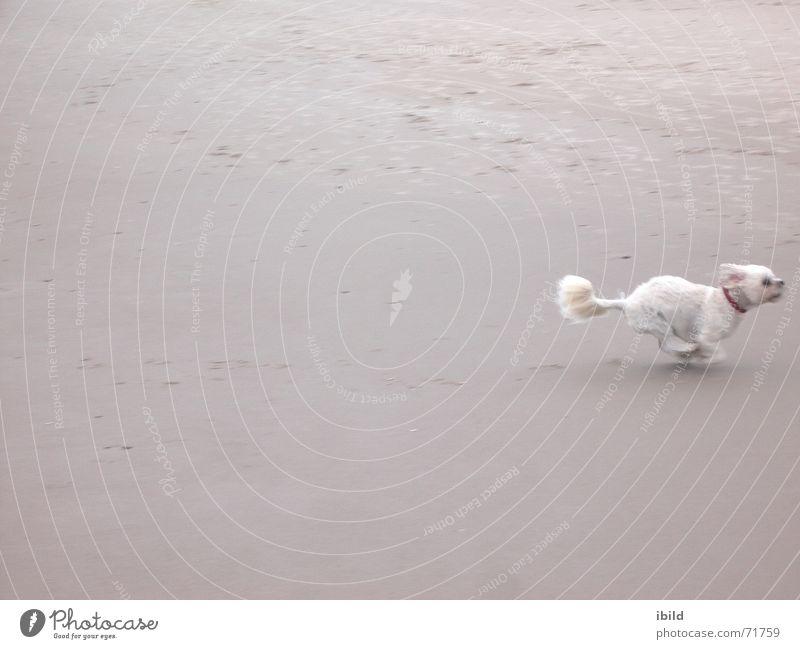 nixwieweg Strand Hund Sand lustig klein laufen Geschwindigkeit Tier