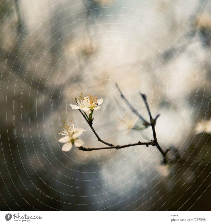 Vorfühler Natur schön weiß Pflanze ruhig Umwelt Gefühle Frühling Blüte grau klein natürlich außergewöhnlich Stimmung Lifestyle Wachstum