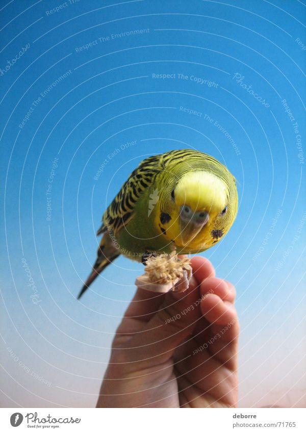 Exotische und farbenprächtige Vögel werden von Hand gefüttert. Vogel Tier Zoo Air Frieden Haustier gelb grün klein blau fliegen Freiheit sanft Vogelgrippe