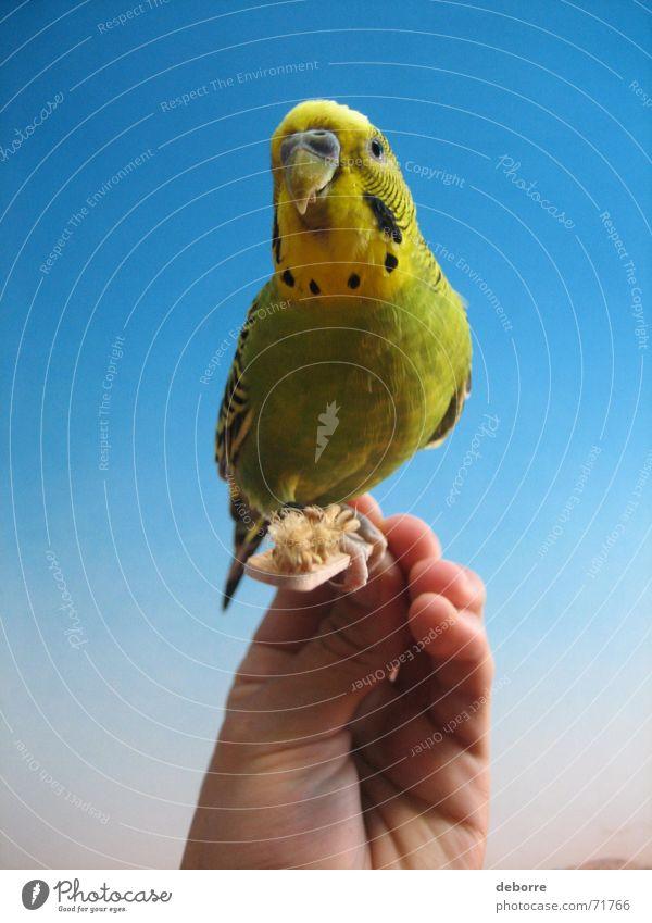 Exotische und farbenprächtige Vögel werden von Hand gefüttert. Vogel Tier Zoo Air Frieden Haustier gelb grün klein blau fliegen Freiheit sanft