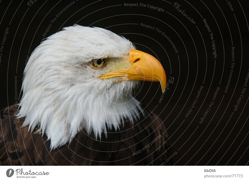 Weisskopfseeadler Tier Vogel Adler Seeadler Weisskopfseeadler