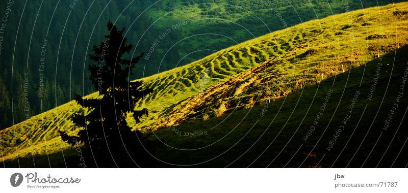 Alpwiese Baum grün gelb Wiese Gras Tanne Bürgersteig Alm Berghang Pflanze Abendsonne