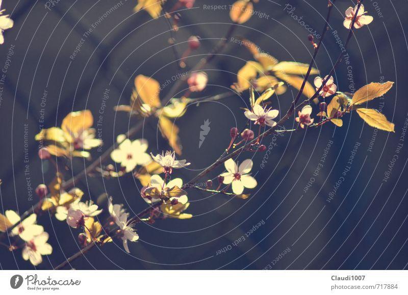 Frühlingsblüten Natur Pflanze ruhig Umwelt Blüte Garten rosa Schönes Wetter genießen Zaun Duft Frühlingsgefühle Zweige u. Äste Maschendrahtzaun