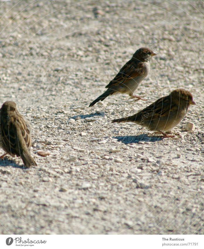 Heute gibt es Spätzle! grau Traurigkeit braun Vogel 3 Trauer Feder Ablehnung Spatz