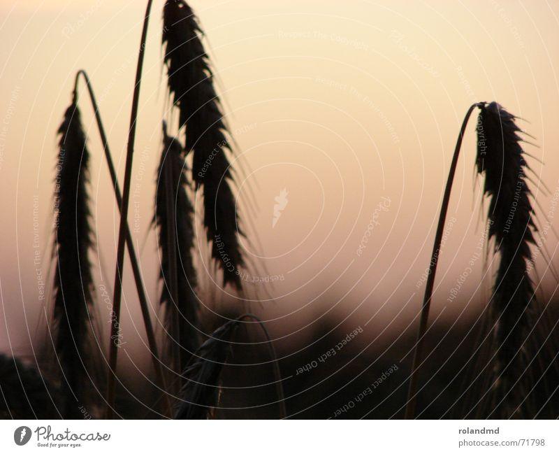 Weizen im Abendlicht Natur Stimmung Feld Getreide Halm Abenddämmerung Weizen Ähren