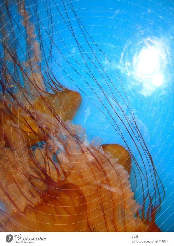 Quallen Meer blau orange Aquarium Qualle Australien Melbourne