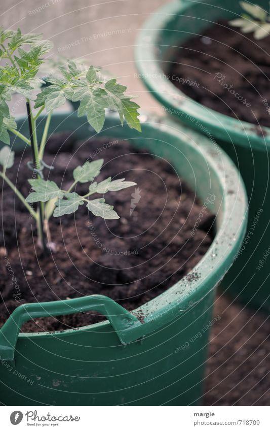 Tomaten - Pflanzen im grünen Blumentopf Gemüse Kräuter & Gewürze Gesundheit Gesunde Ernährung Gärtner Gartenarbeit Natur Erde Frühling Blatt Grünpflanze