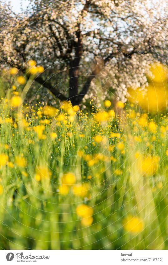 Sommerwiesentauchgang Umwelt Natur Landschaft Pflanze Sonne Sonnenlicht Frühling Schönes Wetter Blume Grünpflanze Obstbaum Apfelbaum Apfelblüte Wiese Blühend