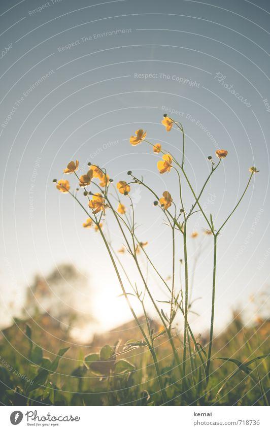 Große Vorfreude Umwelt Natur Pflanze Sonne Sonnenaufgang Sonnenuntergang Sonnenlicht Frühling Schönes Wetter Wärme Blume Gras Blüte Wildpflanze Hahnenfuß Wiese