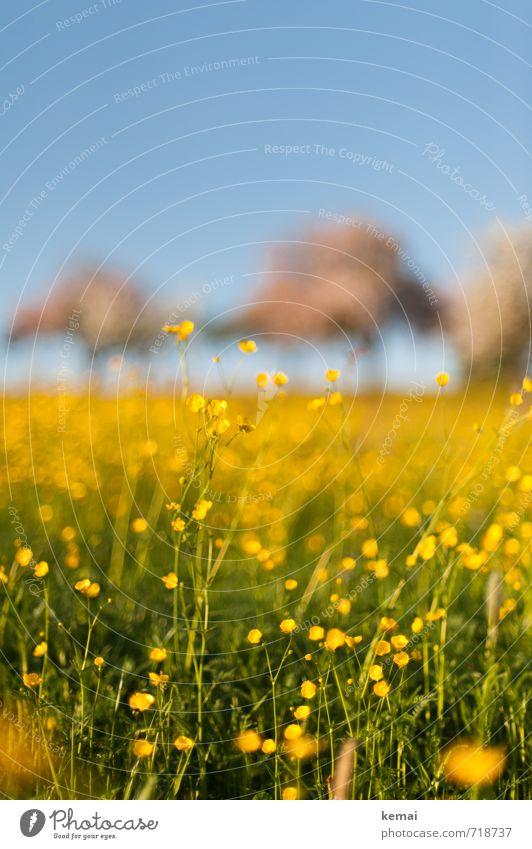 Gelbe Pracht III Umwelt Natur Landschaft Pflanze Himmel Wolkenloser Himmel Sommer Schönes Wetter Wärme Baum Blume Gras Blüte Wildpflanze Hahnenfuß