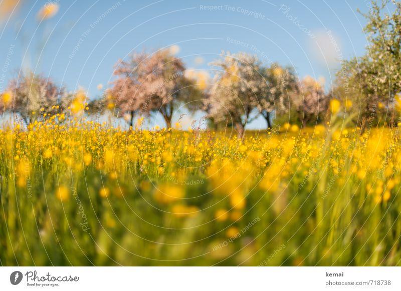 Gelbe Pracht II Umwelt Natur Landschaft Pflanze Himmel Sonnenlicht Frühling Schönes Wetter Baum Blume Gras Blüte Nutzpflanze Wildpflanze Hahnenfuß Obstbaum