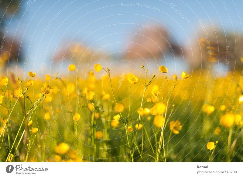Gelbe Pracht Umwelt Natur Pflanze Sonnenlicht Frühling Schönes Wetter Wärme Blume Blüte Wildpflanze Hahnenfuß Wiese Blühend Wachstum Freundlichkeit frisch hoch