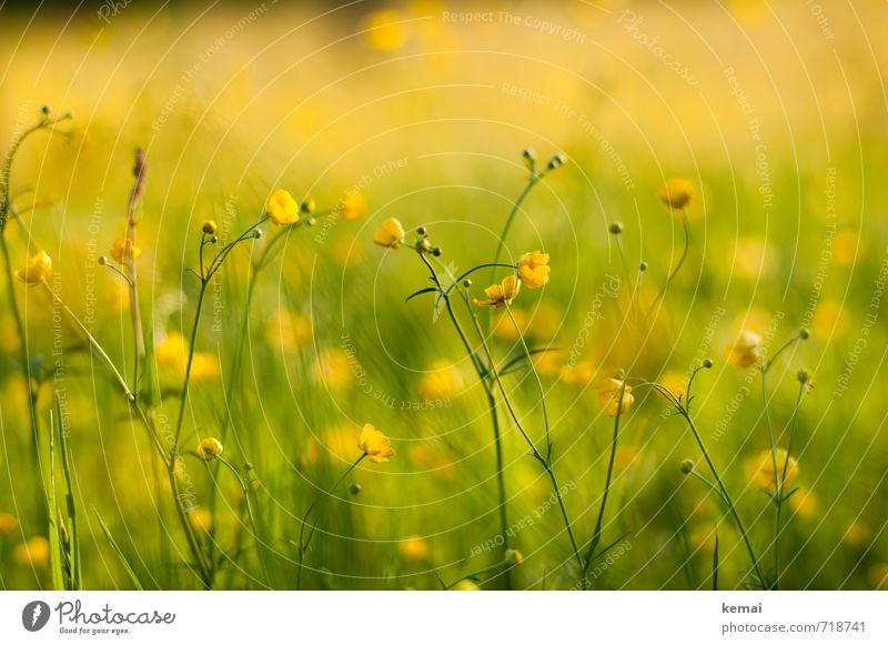 Gelbe Pracht III Umwelt Natur Pflanze Sonnenlicht Frühling Schönes Wetter Wärme Blume Blüte Hahnenfuß Wiese Blühend Wachstum frisch schön gelb grün