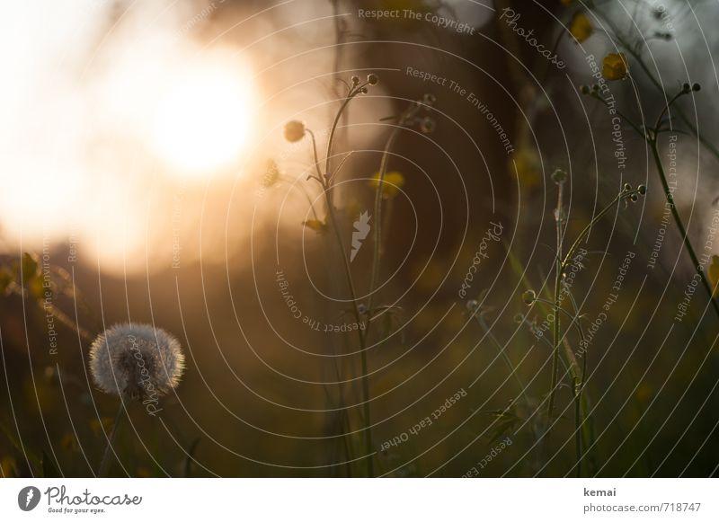 Wo ist der Sommer hin? Umwelt Natur Pflanze Sonnenaufgang Sonnenuntergang Sonnenlicht Schönes Wetter Wärme Gras Grünpflanze Wildpflanze Löwenzahn Hahnenfuß