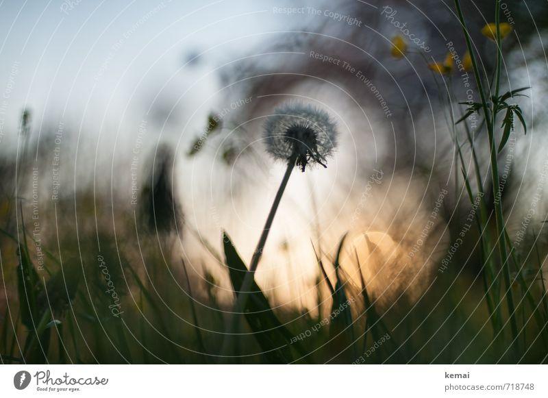 Frühlingwonderland Umwelt Natur Pflanze Sonne Sonnenaufgang Sonnenuntergang Sonnenlicht Schönes Wetter Gras Löwenzahn Hahnenfuß Wiese Blühend Wachstum dunkel