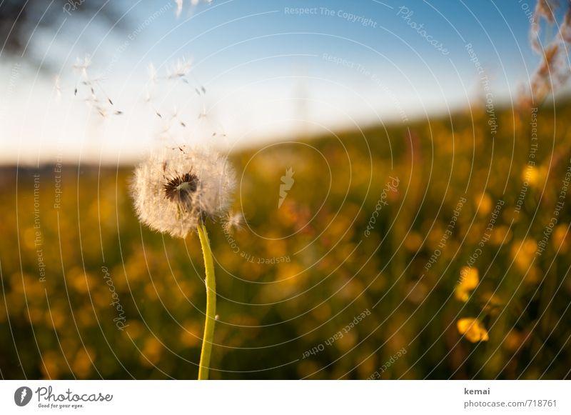 Seid fruchtbar und vermehret euch Umwelt Natur Landschaft Pflanze Wolkenloser Himmel Sonnenlicht Frühling Schönes Wetter Blume Blüte Grünpflanze Löwenzahn