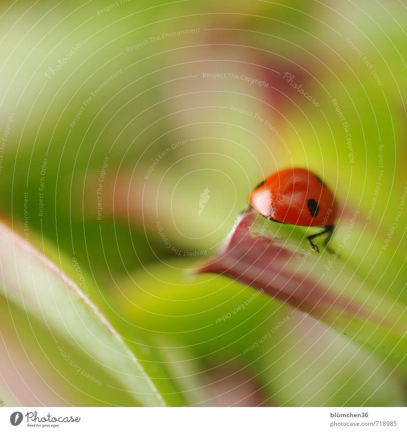 Glückskäfer Tier Wildtier Käfer Siebenpunkt-Marienkäfer Insekt 1 krabbeln laufen sitzen klein natürlich rund grün rot schwarz Lebensfreude Frühlingsgefühle