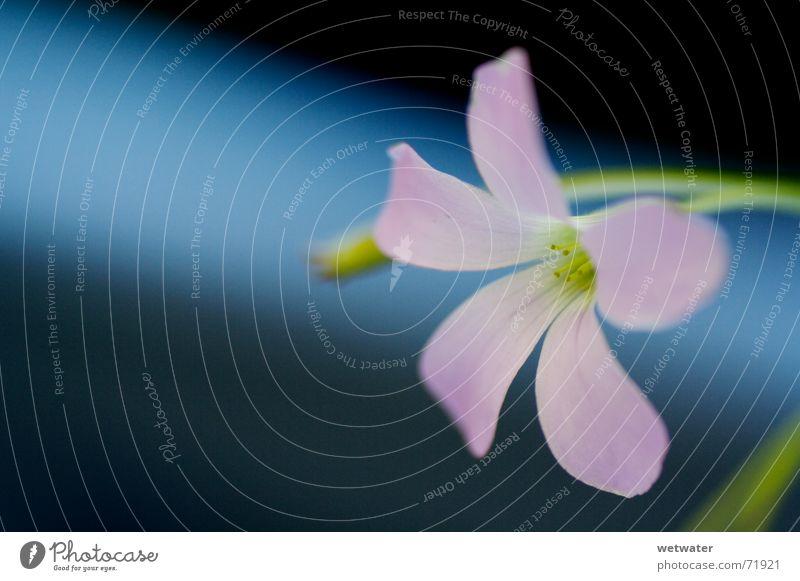 pink blossom rosa Blüte Blume grün zart weich zerbrechlich Natur Frühling Zimmerpflanze Klee flower blue blau dof bläulich Kontrast contrast room