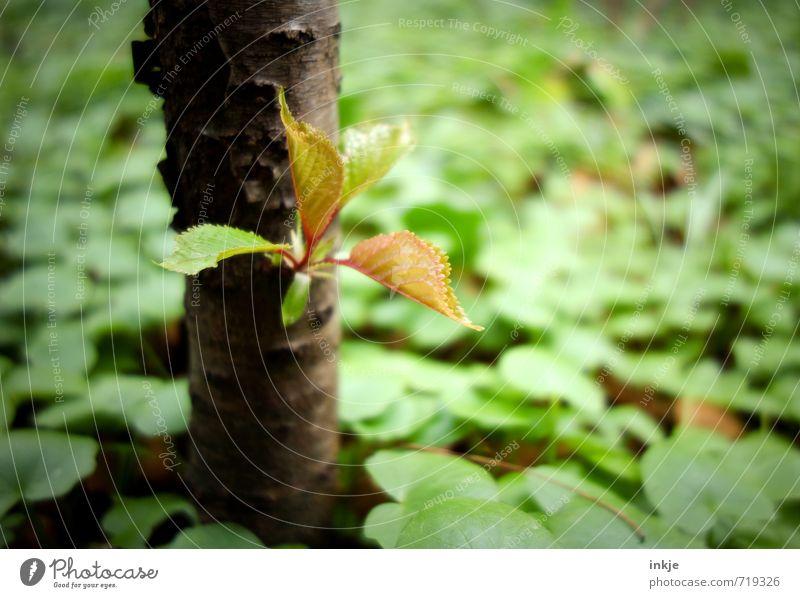 immer wieder neu Natur Pflanze Frühling Baum Blatt Blattknospe Buchenblatt Bodendecker Wachstum frisch klein natürlich braun grün rein Wandel & Veränderung