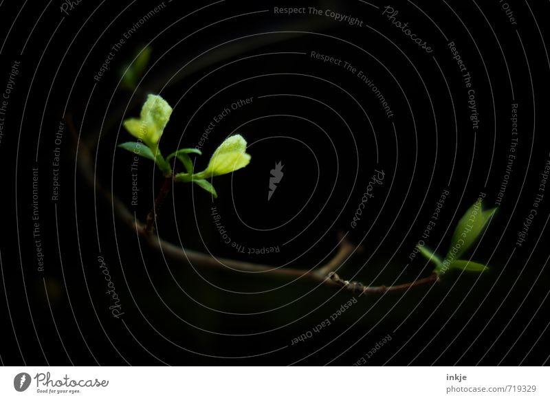 komm ins Licht Natur Frühling Pflanze Baum Blatt Grünpflanze Wildpflanze Blattknospe Zweig Wachstum dunkel frisch klein lang natürlich saftig braun grün schwarz