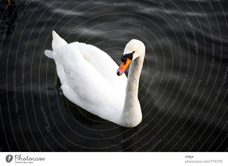 Heute mache ich drei Kreuze im Kalender Wasser Tier Wildtier Schwan 1 Blick Schwimmen & Baden elegant schön natürlich Sauberkeit schwarz weiß einzigartig Idylle