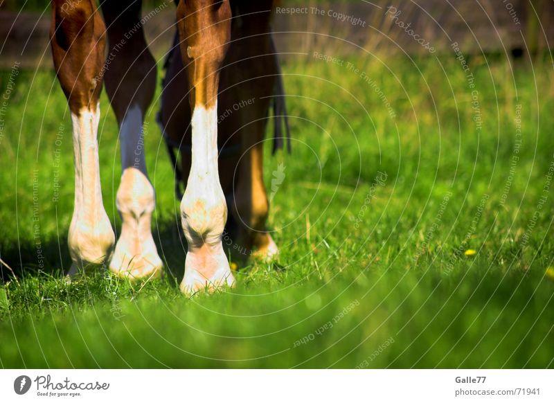 Horse on the meadow Sommer ruhig Ernährung Wiese Gras Beine Pferd Appetit & Hunger genießen Weide Fressen