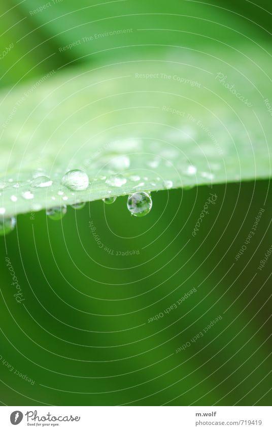 Ein steter Tropfen... Umwelt Natur Pflanze Wasser Wassertropfen Frühling Regen Sträucher Blatt Grünpflanze Garten nass natürlich rund schön grün Vorsicht