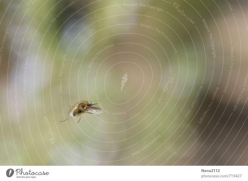 Flying around Umwelt Natur Tier Luft Frühling Sommer Schönes Wetter Garten Park Wiese Feld Biene Flügel 1 fliegen frei hoch klein Farbfoto Außenaufnahme