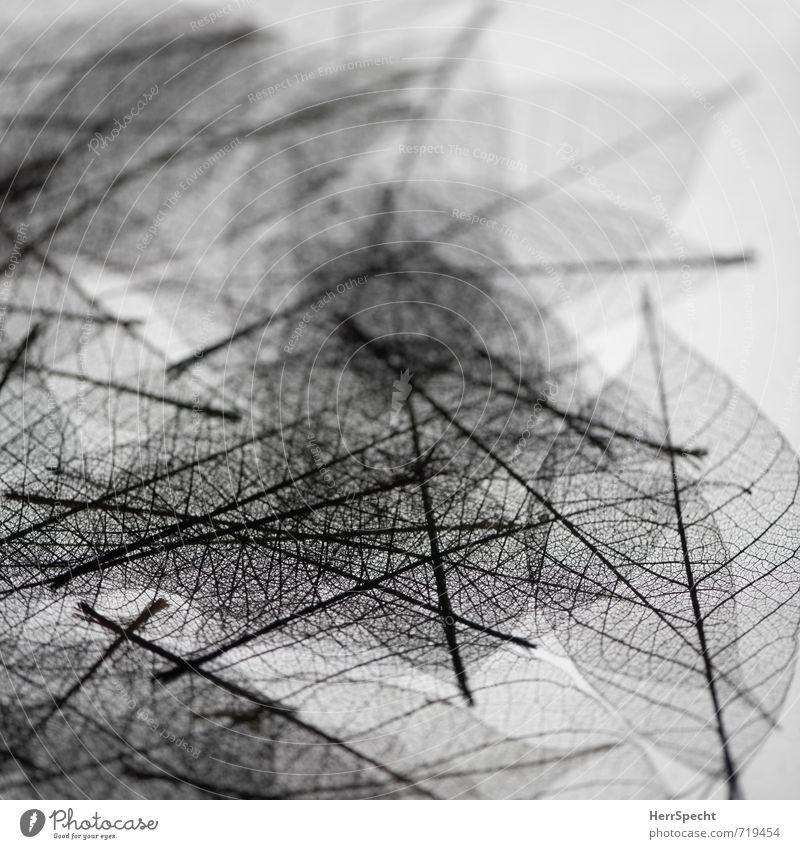 Transparent Dekoration & Verzierung Pflanze Blatt ästhetisch schwarz weiß Blattadern Blattfaser durchsichtig Farblosigkeit Haufen Linie durcheinander